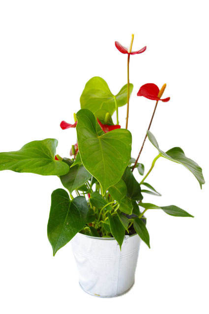 grande plante d co grande plante d co cologique. Black Bedroom Furniture Sets. Home Design Ideas